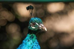 Peafowl at the lawn