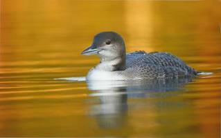 Loon on Fiery Waters photo