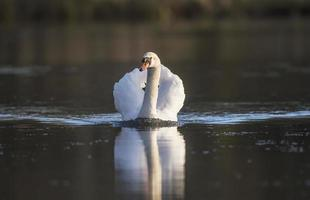 Swan swimming across a pond photo