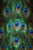 Colorful peacock feathers photo