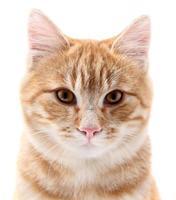 Retrato de gato rojo sobre fondo blanco.
