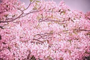 Flam-boyant flower background photo