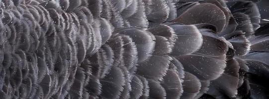 gotas de lluvia sobre las plumas del cisne negro australiano
