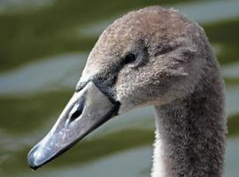 Young Cygnet photo