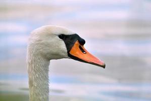 cabeza de cisne foto