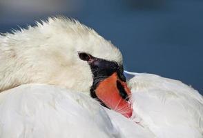 Swan close-up photo