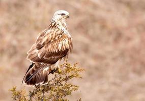 halcón de patas ásperas foto