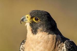 falco pellegrino in autunno