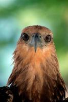 ojo de águila foto