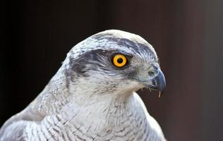 goshawk head photo