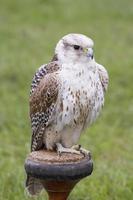 gerifalte - falco rusticolus