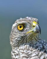 Juvenile goshawk photo