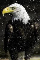 águila calva bajo la lluvia