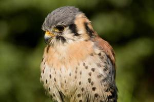 Peneireiro americano (falco sparverius)