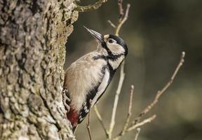 Great spotted woodpecker, perched on the side of a tree