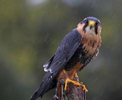 Startled Aplomado Falcon photo