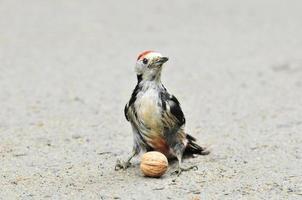 White-backed woodpecker, male.