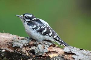 Fall Woodpecker photo