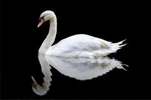 cisne blanco sobre el fondo negro foto