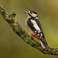 gran pájaro carpintero manchado (dendrocopos major) foto