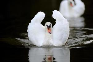 Swan in the lake photo