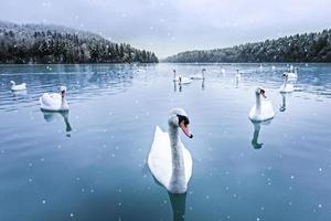 cygnes, neige, lac, hiver