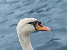 Portrait of a female white swan swimming