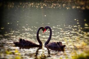 swans in love together photo