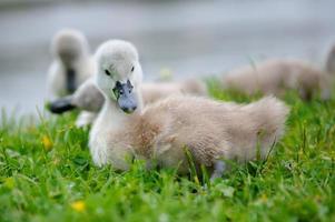 adorable bebé cisne con un grupo de hermanos foto