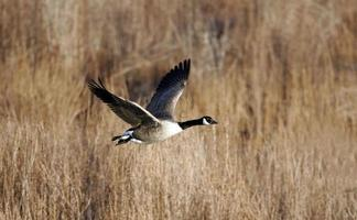 Single Canada Goose in flight