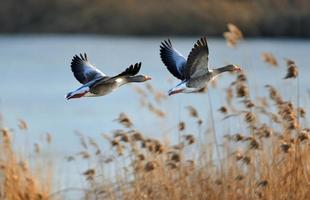 Gray geese in flight photo