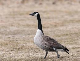 Canada Goose photo