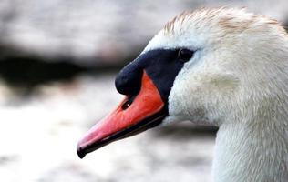 cisne mudo foto