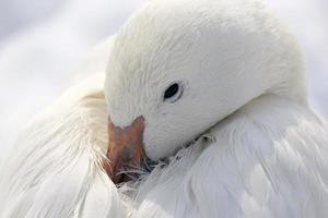 Resting Snow Goose