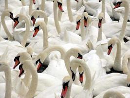 cisnes agrupados foto