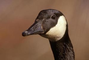 Canada Goose Head Shot photo