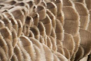 Canada Goose feather photo