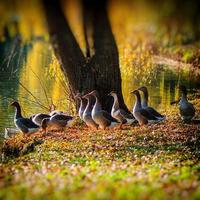 geese photo