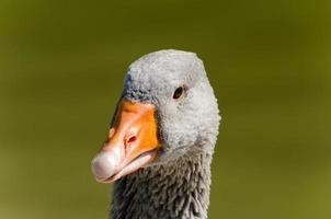 Padovana goose photo