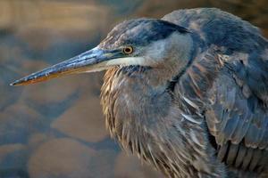 Great Blue Heron - Perfil foto