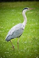 Great Heron - Ardea cinerea photo