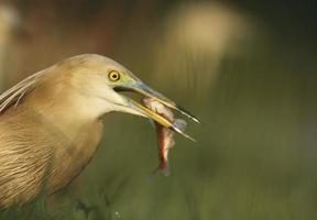 Pond heron with prey
