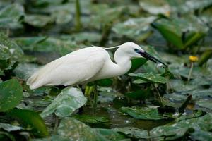 Little Egret eating Fish