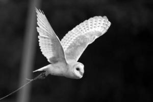 lechuza en vuelo