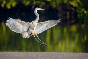 Great Blue Heron 2 photo