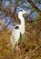 grey Heron photo