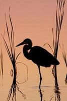 Great Blue Heron Silhouette at Sunrise