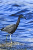 Close-up of little blue heron wadding through the oceanic water