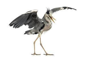 Grey Heron doing a mating dance, Ardea Cinerea photo