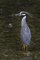 Yellow Crowned Night Heron - brid photo
